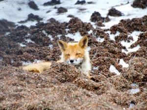 red-fox-144310_640